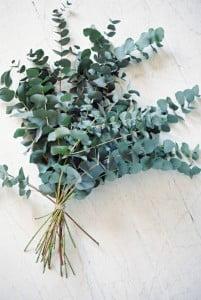 L'eucalyptus