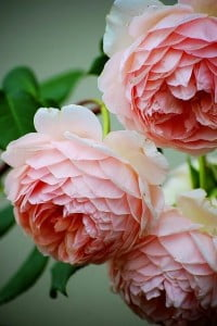 La rose David Austin