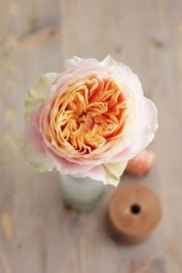 La Rose Vuvuzella